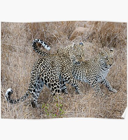 Mother and Daughter Leopards Poster