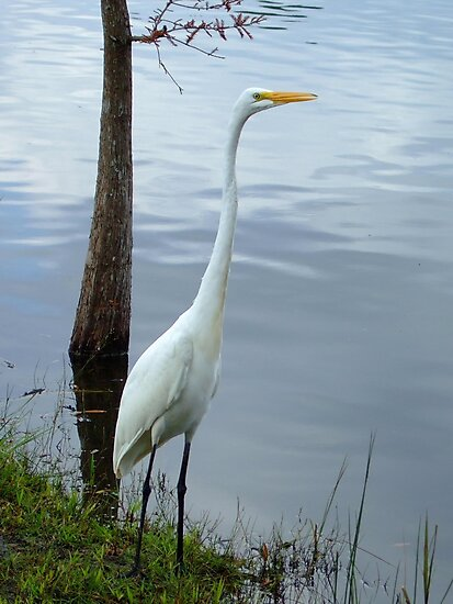 A White Heron Standing Tall by Bob Sample