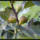 Figs on a Tree by ofer2000
