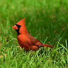Male Cardinal by Bob Sample