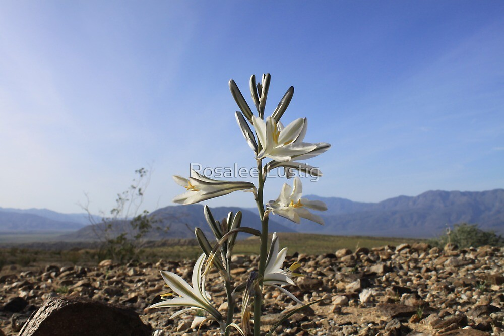 Desert Lily in Bloom by Rosalee Lustig
