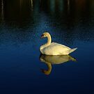 A Beautiful White Swan Reflection by Bob Sample