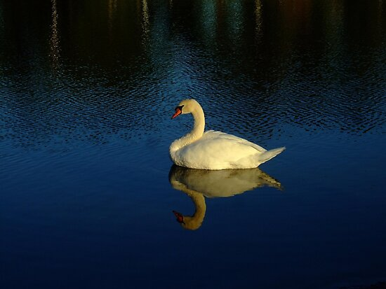 A Beautiful White Swan Reflection by Bob Sample