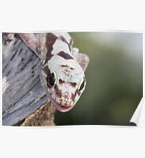 Smiley - Robust Velvet Gecko #2 Poster