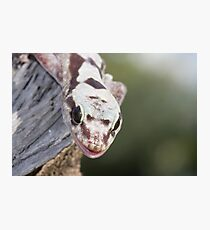 Smiley - Robust Velvet Gecko #2 Photographic Print