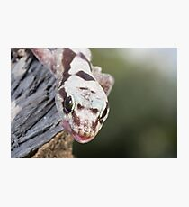 Tongue Out - Robust Velvet Gecko #3 Photographic Print