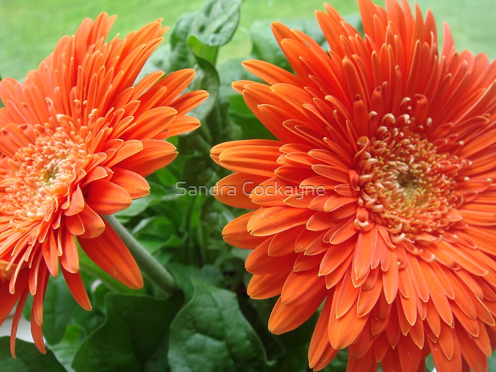 Dazzling Double Orange Gerbera by Sandra Cockayne