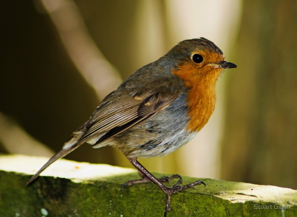 Robin by Stuart Giblin