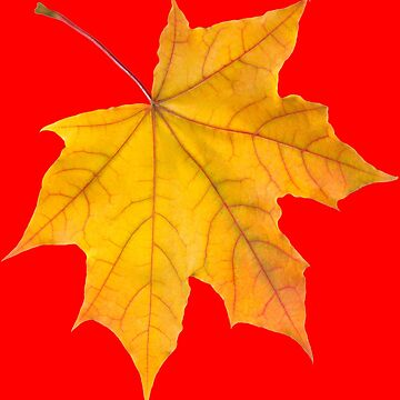 MAPLE LEAF by IMPACTEES