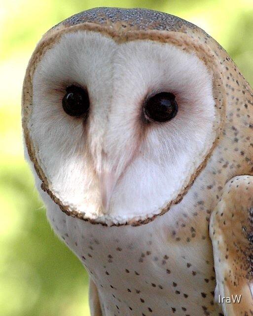 Barn Owl by IraW