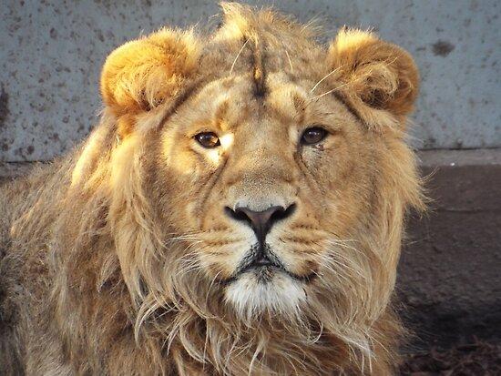 Staring Lion by MacabreWolf