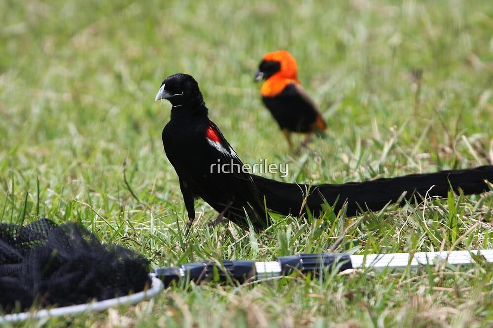 Long-tailed Widowbird by richeriley