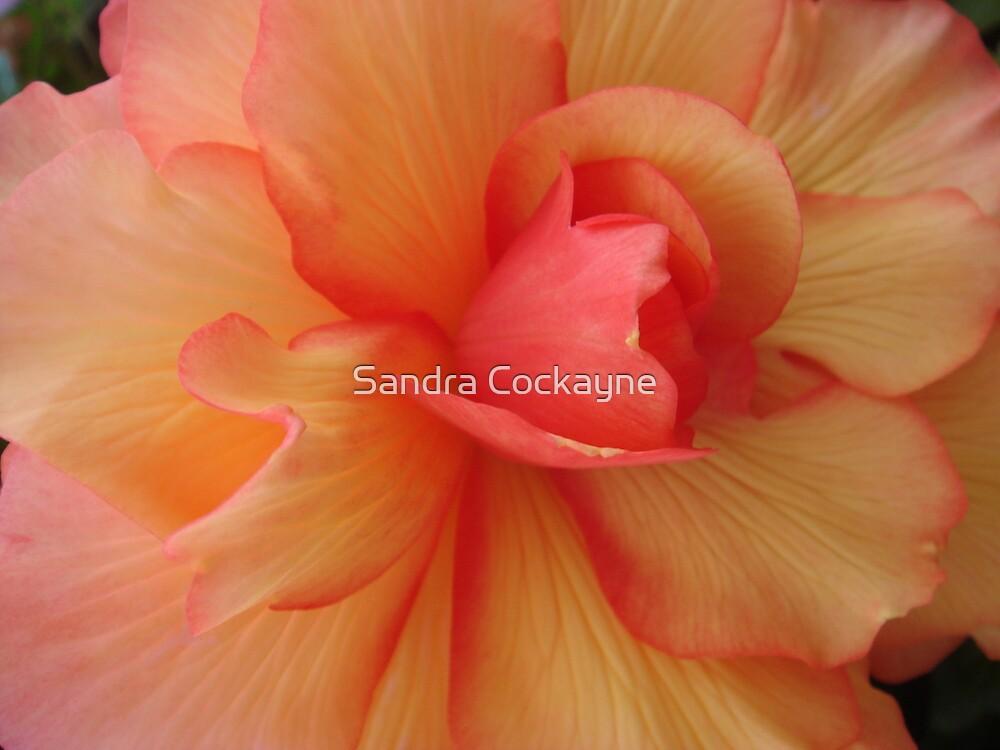 Begonia Beauty by Sandra Cockayne