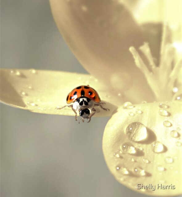 Good Morning Little Ladybug by Shelly Harris