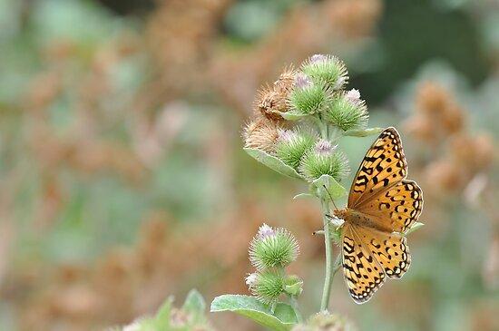 Butterfly by MistyCreek