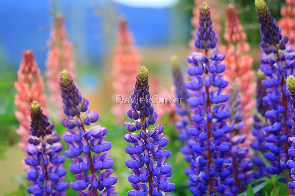 Lupines by Daniel Carter