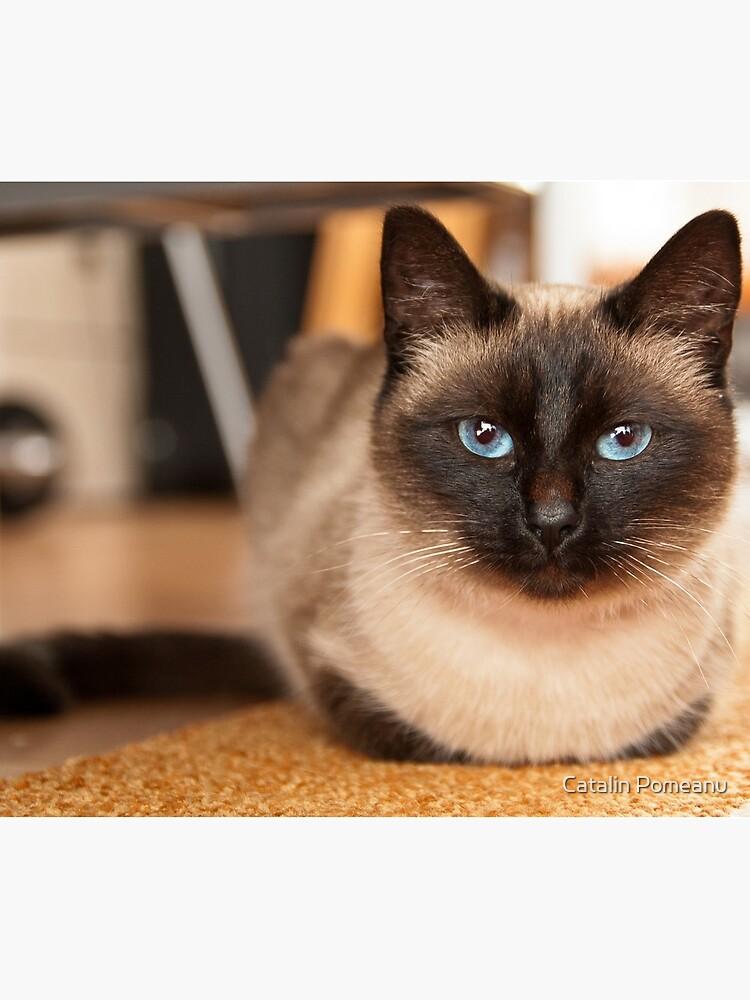 Siamesische Katze von kata11