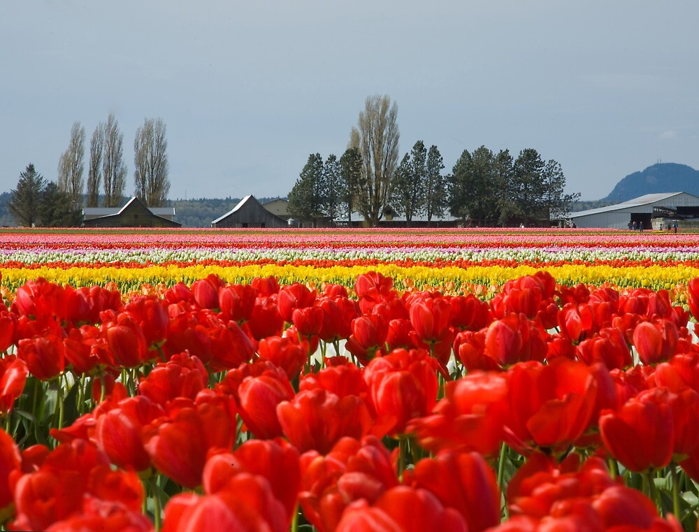 Across the field of Tulips     by lizalady