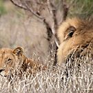 IN A DISTANCE, WELL CAMOUGFLAGED, THE LION AND LIONESS.. by Magriet Meintjes