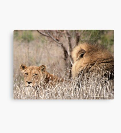 IN A DISTANCE, WELL CAMOUGFLAGED, THE LION AND LIONESS.. Canvas Print