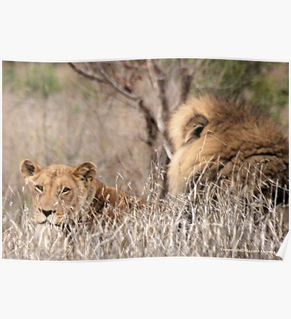 IN A DISTANCE, WELL CAMOUGFLAGED, THE LION AND LIONESS.. Poster