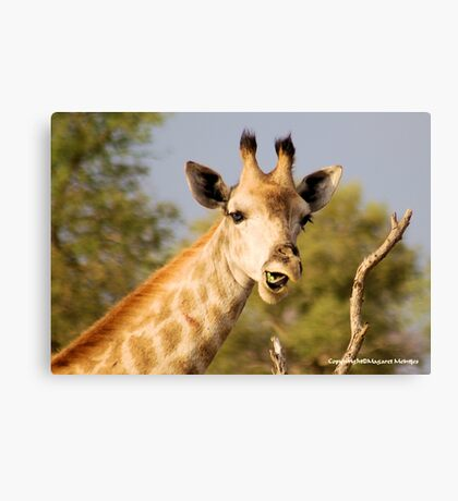 GIRAFFE – Giraffa camelopardalis - This......?  No...  it was from the previous acacia Canvas Print