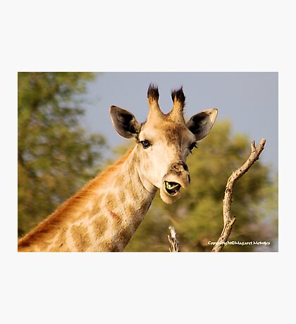 GIRAFFE – Giraffa camelopardalis - This......?  No...  it was from the previous acacia Photographic Print