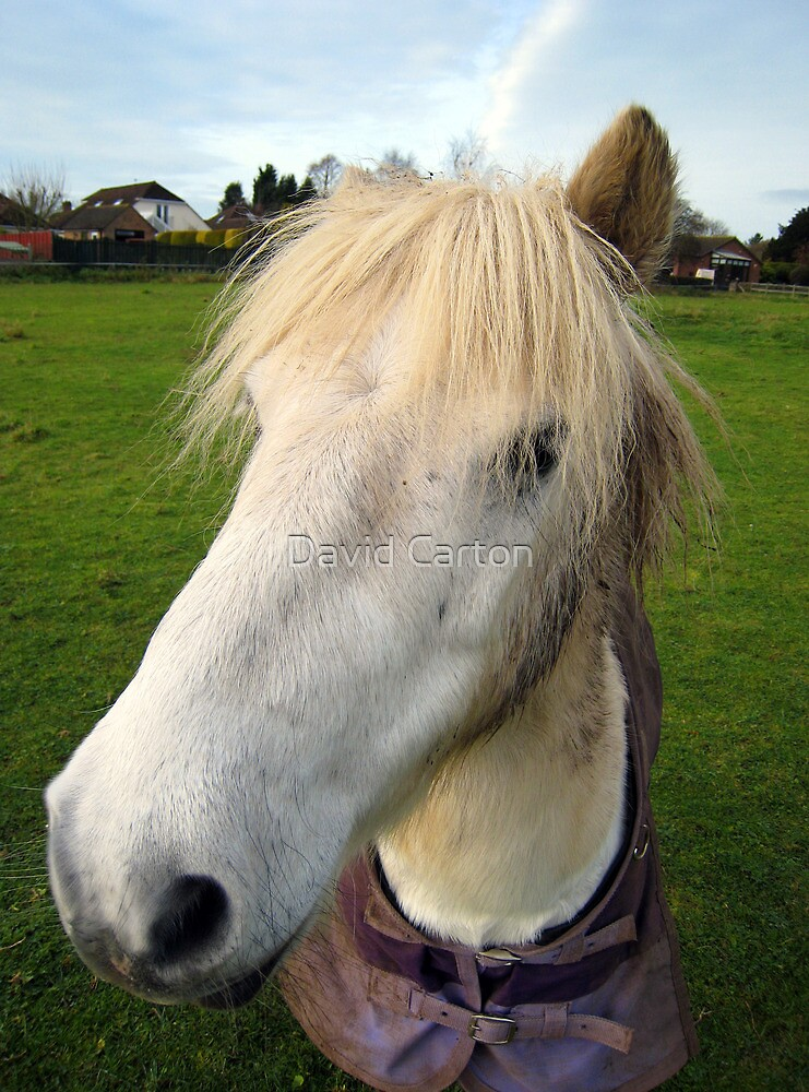 Wide angle horse portrait by David Carton