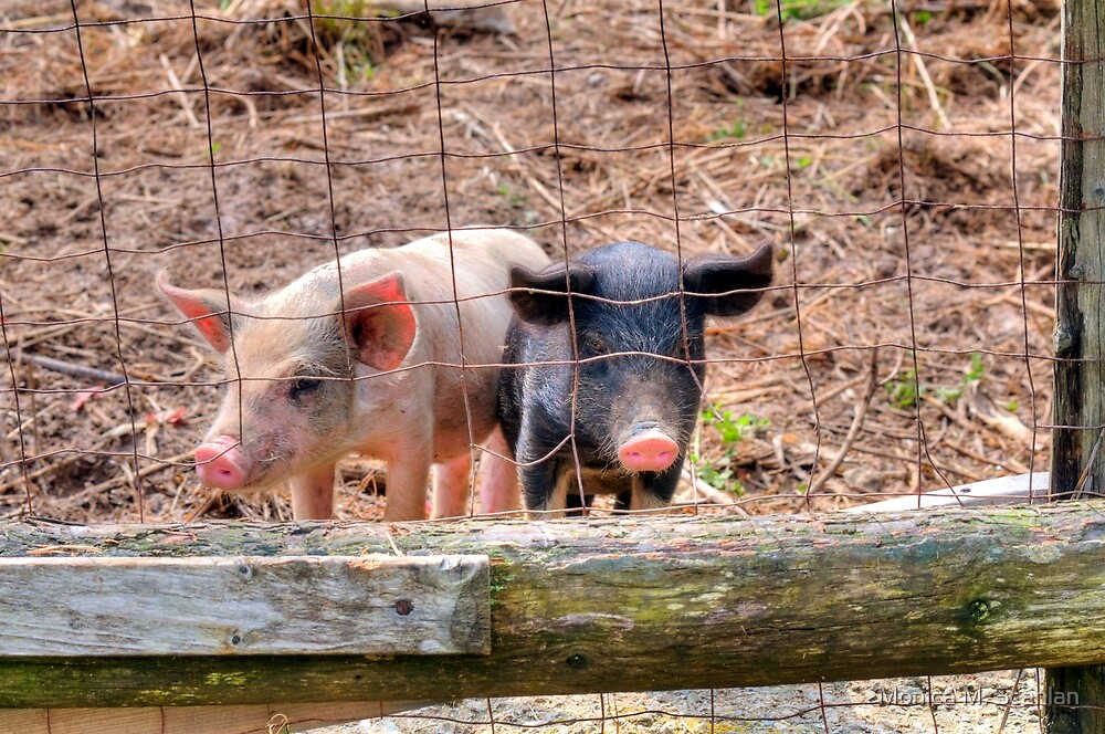 And, These Two Lil Piggies.... by Monica M. Scanlan