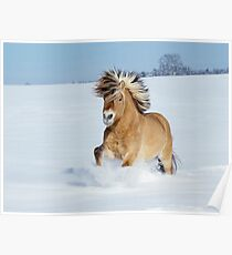 Norwegian horse galloping in snow Poster
