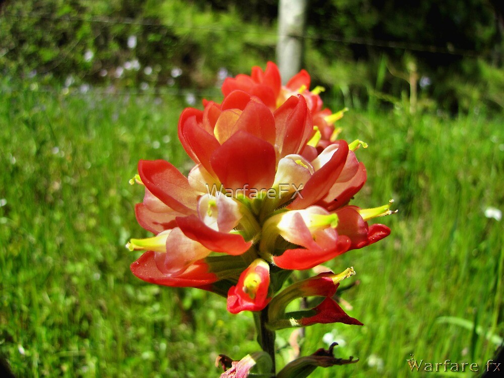 Indian Paint Brush by WarfareFX