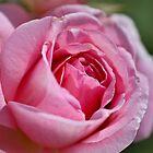 Blendung in rosa Rose von Joy Watson
