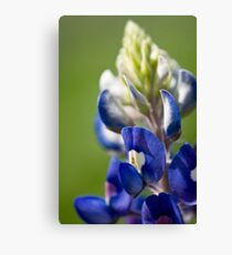 Bluebonnet 2 Canvas Print