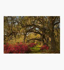 Live Oaks  Photographic Print