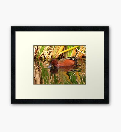 Cinnamon Teal ~ Male Framed Print