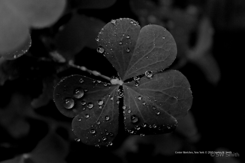 Raindrops On Clover Leaves | Center Moriches, New York  by © Sophie W. Smith