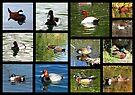 Migrating & Resident Ducks of Southwest Arizona ~ Poster by Kimberly Chadwick