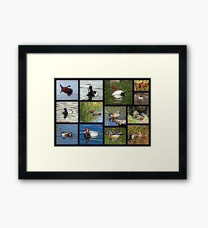 Migrating & Resident Ducks of Southwest Arizona ~ Poster Framed Print