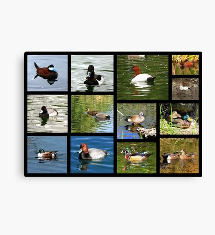 Migrating & Resident Ducks of Southwest Arizona ~ Poster Canvas Print
