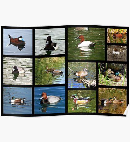 Migrating & Resident Ducks of Southwest Arizona ~ Poster Poster