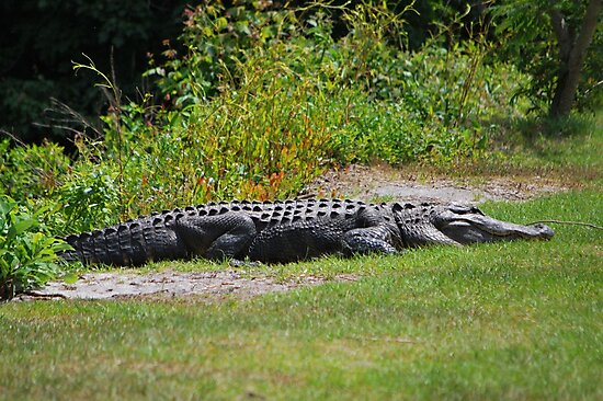 One Serious Alligator by Bob Sample