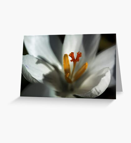 Delicate White Crocus -  Greeting Card