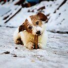 Hund - Jack Russel  von laura-S