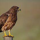 Hawk 1 by KS-Photography