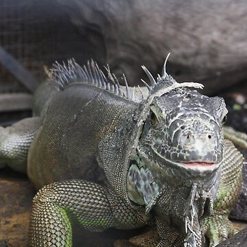 I'm Watching You! - An Iguana by rissole101