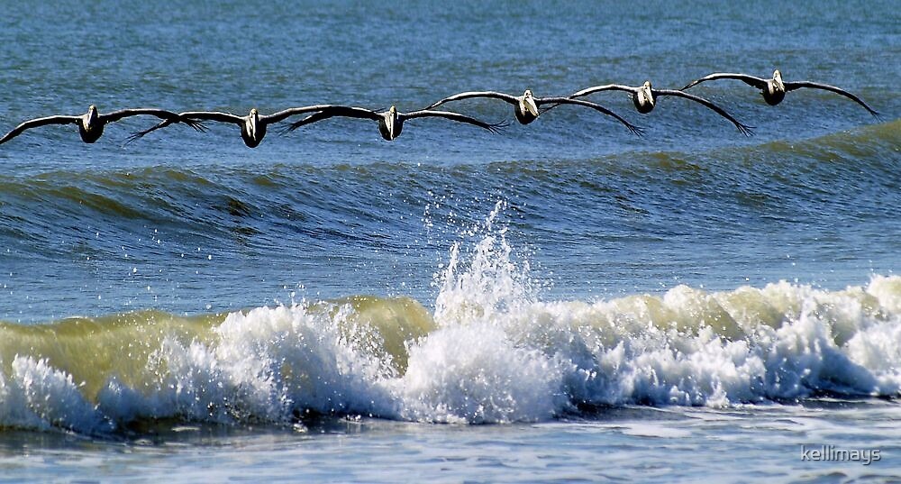 Pelicans in search formation...looking for their breakfast by kellimays