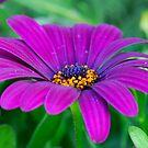 Purple splendour by Heather Thorsen