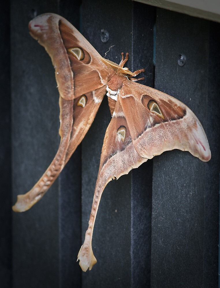 male hercules moth - north queensland by col hellmuth