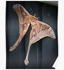 male hercules moth - north queensland Poster