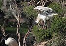 Flight's End: Australian White Ibis, South Australia  by Carole-Anne